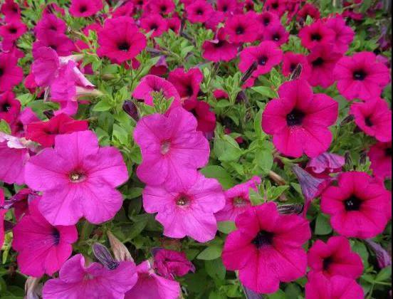 夏花灿烂--夏季花卉推荐2