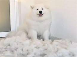 【在线宠医】狗狗掉毛的原因是什么?