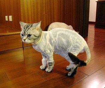 【宠物问诊】猫咪老掉毛是什么原因,怎么办?