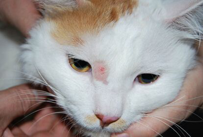 【宠物在线咨询】猫藓有哪些原因,如何治疗