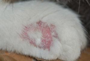 【宠医在线咨询】猫咪皮肤病反复应如何处理