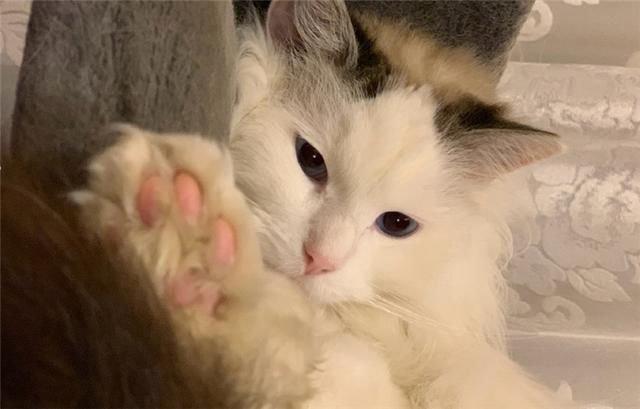 【宠物在线咨询】猫咪的皮肤病反复不停,应如何处理