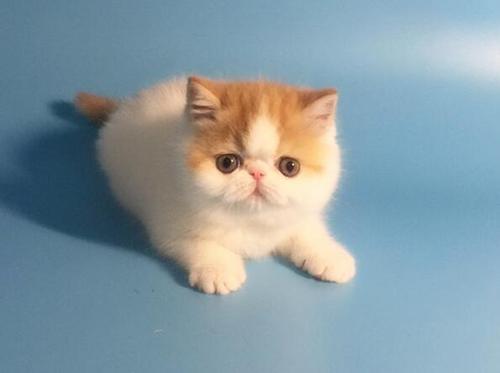 【宠物问诊】家中饲养的加菲猫为什么老是打喷嚏?