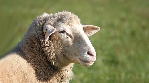 绵羊奶有何天然营养优势?