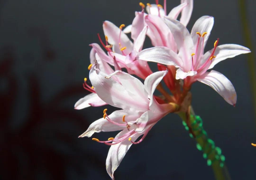 开在盛夏的石蒜花,如烟,似火