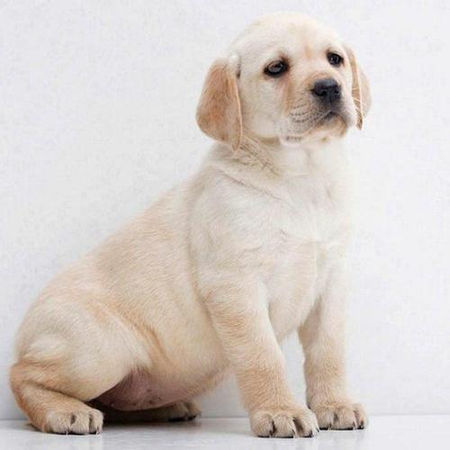 【宠物在线咨询】夏天是否可以给狗狗剃毛