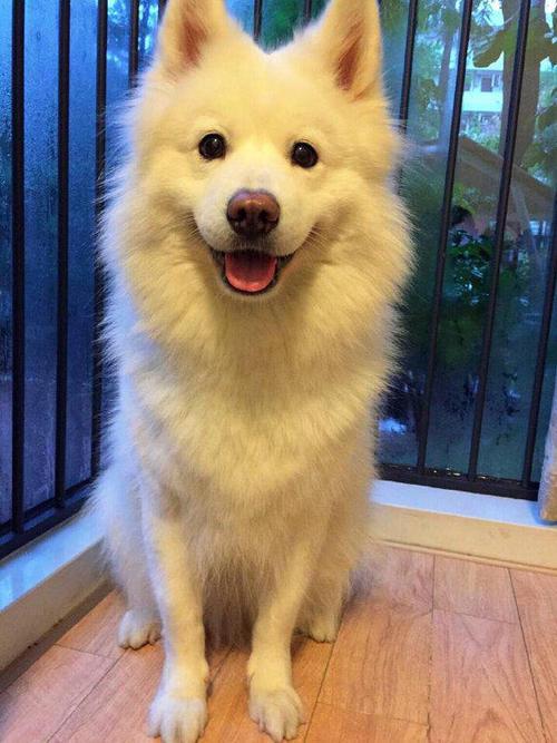 【宠医在线咨询】夏天的时候,可以剔除狗狗的毛发吗?