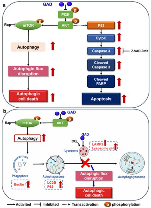 重磅丨我国学者研究发现:灵芝酸可诱导食管鳞癌细胞凋亡