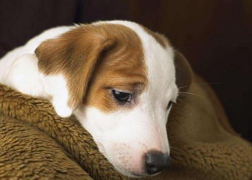 【在线宠物医生咨询】狗狗拉稀、便血症状及治疗方法