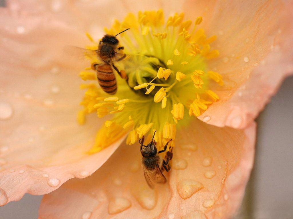 花粉中,黄酮类对人体的重要作用