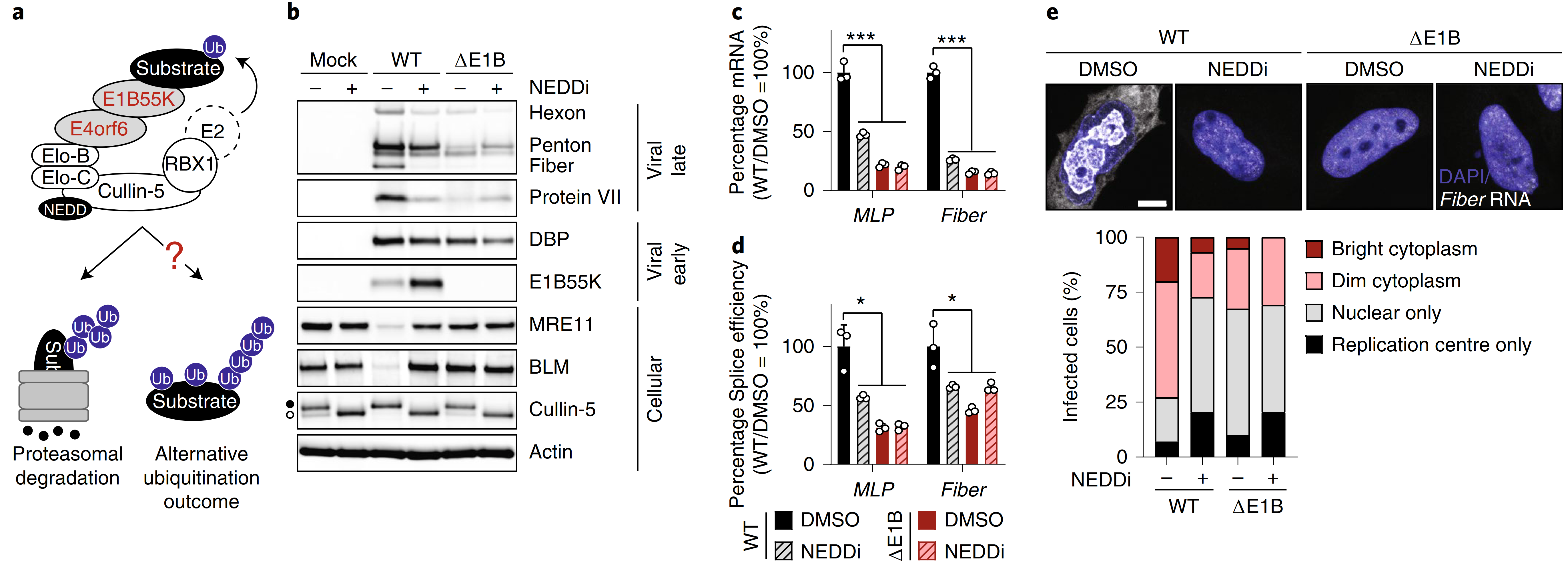 Nature microbiology   腺病毒介导的泛素化改变了蛋白质-RNA的结合和艾滋病毒RNA的加工