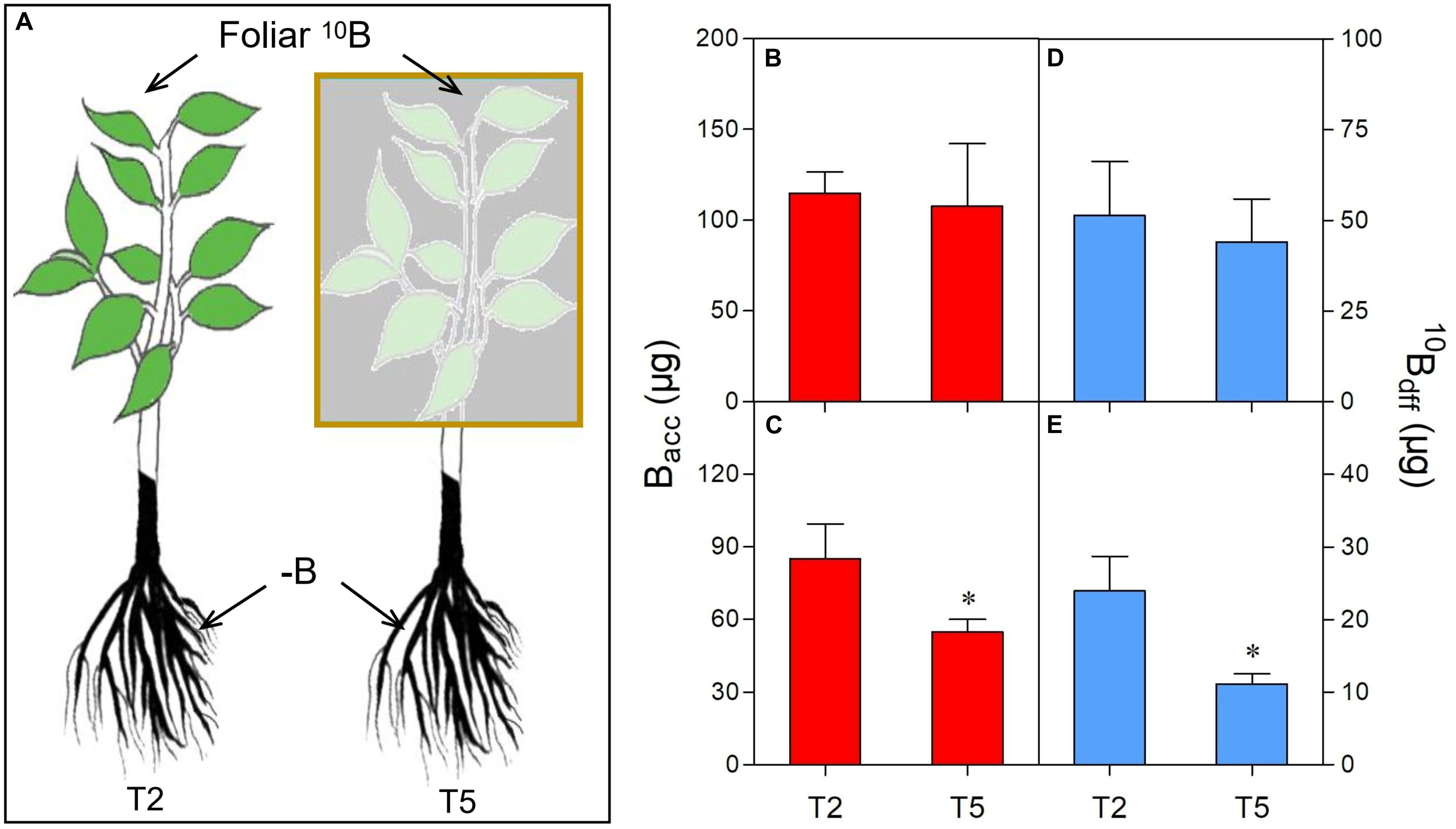 拜谱项目文章 | 叶片中的硼可通过韧皮部以硼-蔗糖复合物的形式运输到根部