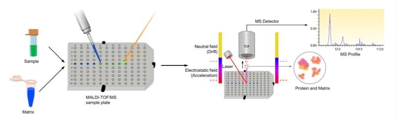 MALDI-TOF分子量检测